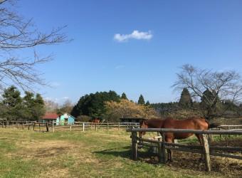 長柄町の秋元牧場。馬と触れ合えるのどかな牧場。春の桜は有名。