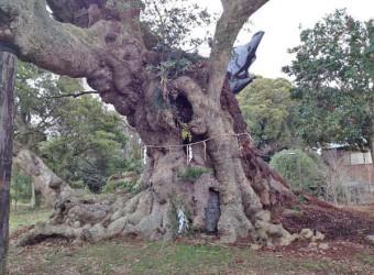 香取市にある「府馬の大楠」。樹齢1300年から1500年と言われている。国指定天然記念物。