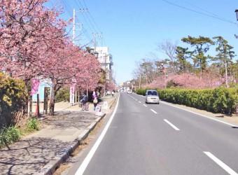 白子温泉の河津桜。2月中旬から温泉街のメインストリートに咲き乱れます。早い春は房総らしい。