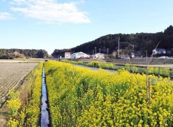 小春日和のいすみ鉄道(その2)。線路の土手には菜の花が満開!ようやく春が来た!