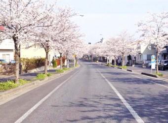 千葉市緑区あすみが丘で見かけた桜並木。