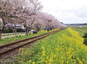 小春日和のいすみ鉄道(その4)。菜の花の黄色と、桜のピンクの組み合わせは、本当に美しい!