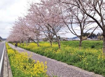小春日和のいすみ鉄道(その3)。菜の花の上には桜も満開!これぞ房総の春!