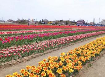 白子町のチューリップ祭り。毎年春に開かれる。気候温暖な房総は花の栽培も盛ん。
