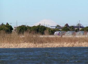 長生村本郷で見かけた富士山(その1)。冬の朝だけ見られる。朝日に輝く銀嶺は本当に美しい。