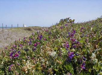 一松海岸に咲く花(その2)。ハマエンドウも忘れてはいけません。これも九十九里浜の各所で見られる。