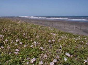 一松海岸に咲く花。なんといってもハマヒルガオは有名ですね。夏の九十九里浜の定番。