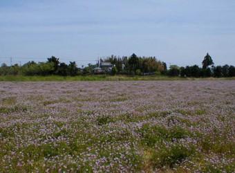 白子町で見かけたレンゲ畑。