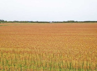 睦沢町に広がる麦畑。見渡す限りの黄金色の絨毯は、息をのむほど綺麗。もうじき収穫。